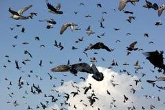 Groep vliegende duif stock foto's