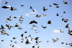 Groep vliegende duif stock afbeelding