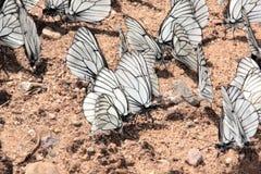 Groep vlinders. Stock Fotografie