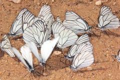 Groep vlinders. Stock Foto's