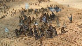 Groep vlinders die zoute soi eten stock video