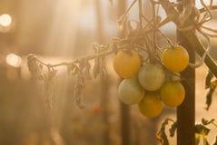 Groep vrolijke tomaten in het ochtendlicht royalty-vrije stock afbeeldingen