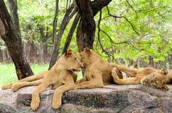 Groep vrouwelijke leeuw Stock Afbeeldingen