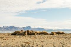 Groep walrussen op Prins Karls Forland, Svalbard stock foto's