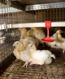 Groep weinig kip van de weken oude baby Stock Afbeeldingen