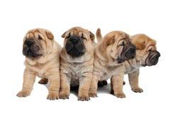 Groep weinig puppyhonden Royalty-vrije Stock Afbeelding