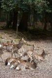Groep Wilde Aziatische Herten Stock Afbeelding