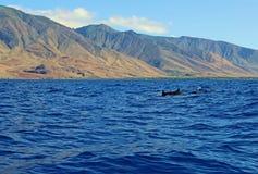 Groep wilde dolfijnen Stock Afbeelding