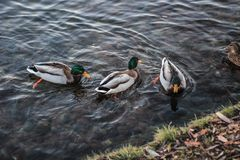 Groep wilde eenden die langs het meer zwemmen Royalty-vrije Stock Fotografie