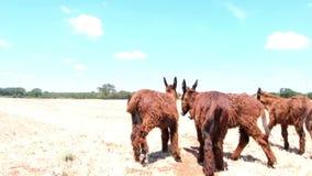 Groep wilde ezels op het gebied stock video
