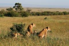 Groep wilde leeuwen stock foto's