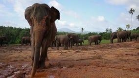 Groep wilde olifanten stock video