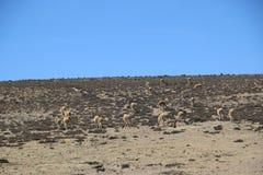 Groep wilde vicuna Ergens in Bolivië royalty-vrije stock fotografie