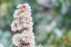 Groep wilde witte bloemen met lange en dunne bloemblaadjes stock afbeeldingen