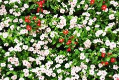 Groep Witte en rode bloemen Stock Foto