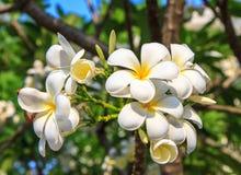 Witte frangipani Royalty-vrije Stock Foto
