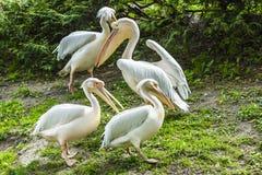Groep witte pelikanen op het gras stock afbeeldingen