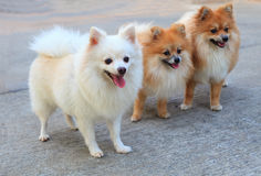 Groep witte pomeranian hond en bruine kleur Stock Afbeeldingen