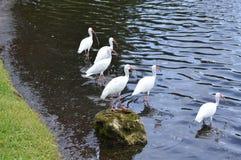 Groep witte vogelsoever van het meer Stock Foto