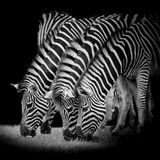 Groep zebras Stock Afbeeldingen