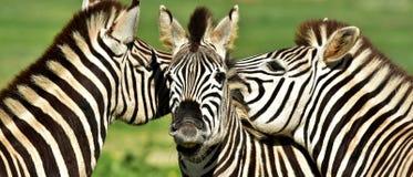 Groep zebras Stock Afbeelding
