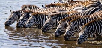 Groep zebras drinkwater van de rivier kenia tanzania Nationaal Park serengeti Maasai Mara royalty-vrije stock foto's