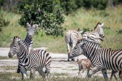 Groep Zebras-het spelen in Chobe Stock Afbeeldingen