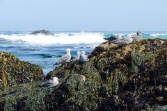 Groep zeemeeuwen op de rotsachtige kust Stock Foto's