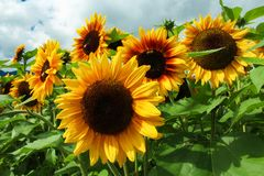Groep zonnebloemen stock foto
