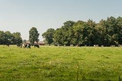 Groep zwart-witte koeien in weiland Stock Afbeelding