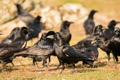 Groep zwarte kraaien stock afbeelding