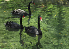 Groep zwarte zwanen royalty-vrije stock afbeelding