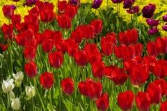 Groepen kleurrijke tulpen in het park royalty-vrije stock fotografie