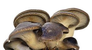 Groepencultuur van cardoncellipaddestoelen Stock Afbeeldingen