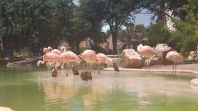 Groepering van Flamingo's in Texas Royalty-vrije Stock Afbeelding