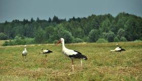 Groepsod ooievaars - landschap van Pools gebied - Bialowieza stock foto
