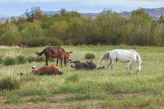 Groepstestament die en Paarden weiden spelen Stock Fotografie