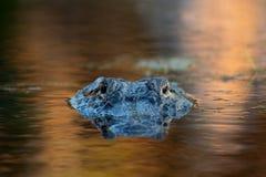 Großer amerikanischer Alligator im Wasser Lizenzfreie Stockfotografie