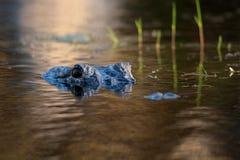 Großer amerikanischer Alligator im Wasser Lizenzfreie Stockfotos