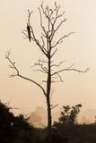 Großer Baum mit sitzendem rotem backgro Himmel des Pfauschattenbildsonnenaufgangs Stockbild