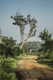 Großer Baum mit sitzendem rotem backgro Himmel des Pfauschattenbildsonnenaufgangs Stockfoto