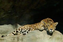 Großer beschmutzter Leopard Katze Sri Lankan, Panthera pardus kotiya, liegend auf dem Stein im Felsen, Nationalpark Yala, Sri Lan Lizenzfreie Stockfotos