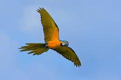 Großer blauer und gelber Papagei Keilschwanzsittich, Aronstäbe ararauna, wildes Vogelfliegen auf dunkelblauem Himmel Actionszene  Lizenzfreie Stockfotografie
