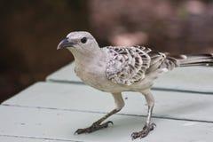Großer Bowerbird, der nach Mittagessen-Schrotten sucht Stockfoto