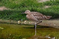 Großer Brachvogel im Fluss Stockbild