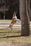 Großer Däne, der für Eichhörnchen springt Stockfoto