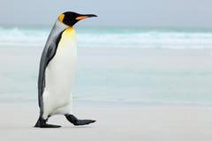 Großer Königpinguin, der zum blauen Wasser, Atlantik in Falkland Island, Küstenseevogel im Naturlebensraum geht Stockfoto