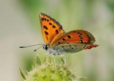 Großer kupferner Schmetterling Lizenzfreies Stockbild