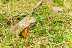 Großer Leguan Lizenzfreies Stockfoto