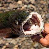 Großer Mund der See-Forelle (Salvelinus namaycush) Stockfotos